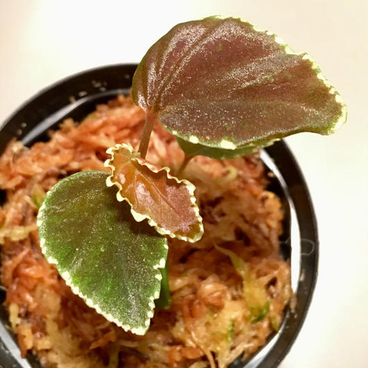 Begonia darthvaderiana from Sarawak Borneo