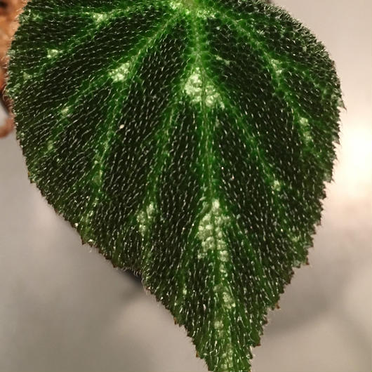 Begonia pustulata sp. from Mexico
