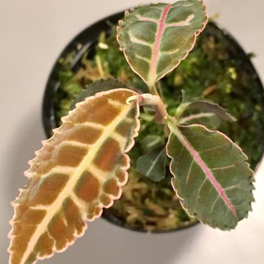 Labisia sp. from Riau  Sumatera