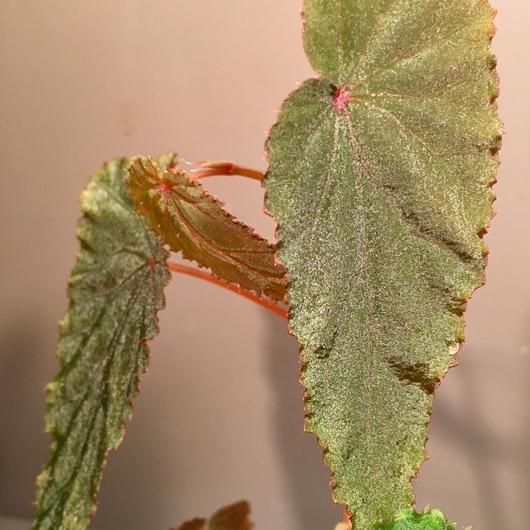 Begonia sp. from Malalak [TK110117]