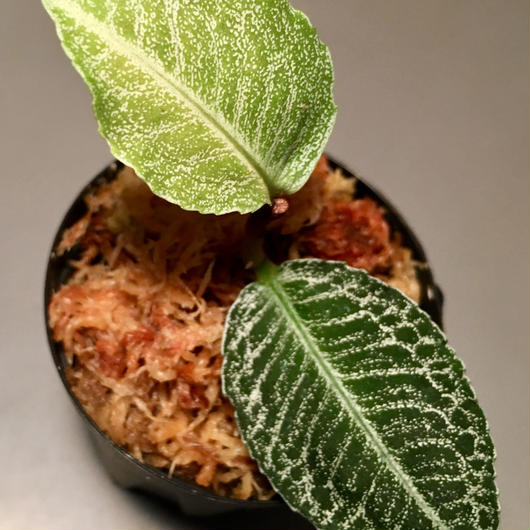 Ardisia sp. from Sumatera