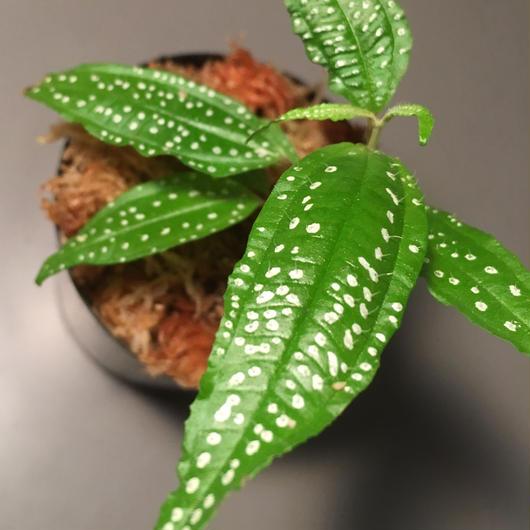 Melastoma sp. from Sumatera