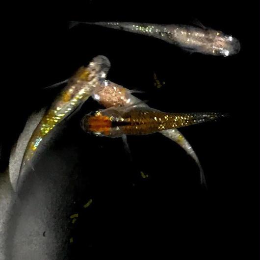 改良メダカ 三色ラメ幹之 若魚(1.5~2cm)10匹セット