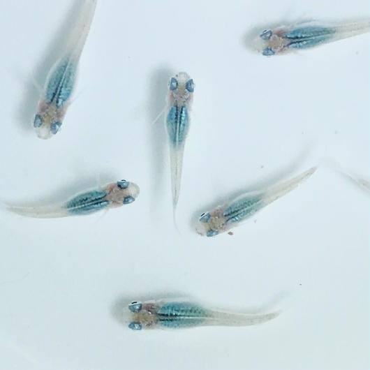 改良メダカ 深海   幼魚(1~1.5cm) 10匹セット