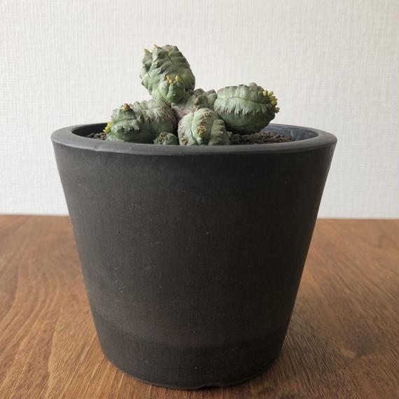 Euphorbia pseudoglobosa