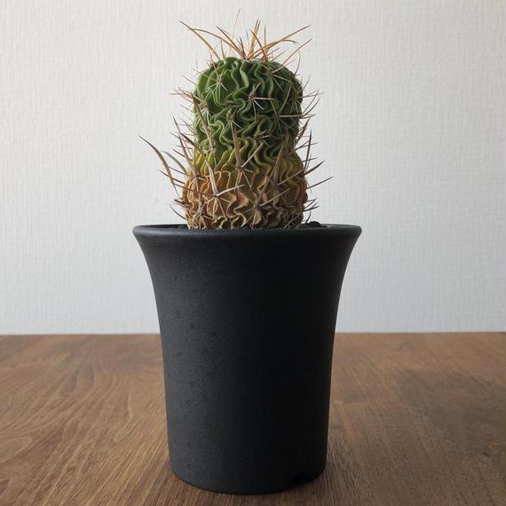 Echinofossulocactus lloydii