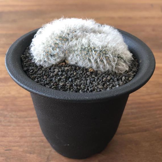 Mammillaria bocasana v. sericata