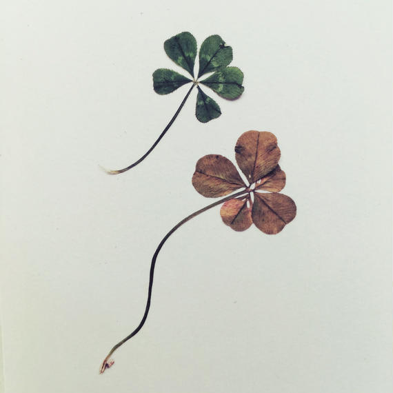 "message post card / "" Miracle Happens! "" / Five-leaf clover"