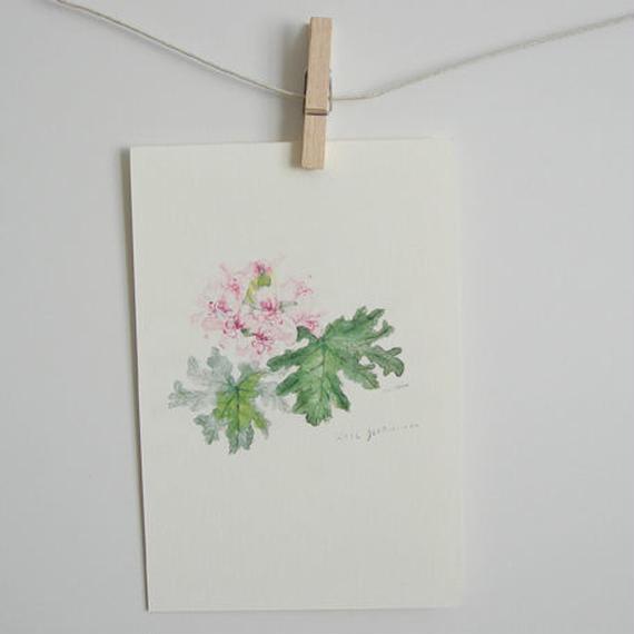 postcard / rose geranium