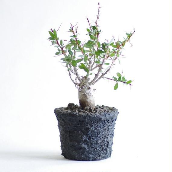 フォークイエリア コルムナリス観峰玉  Fouquieria columnaris