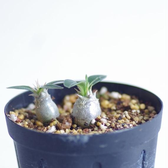 パキポディウム デンシフローラム シバ女王の玉櫛 Pachypodium densiflorum