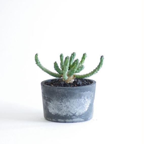 ユーフォルビア イネルミス 九頭竜 Euphorbia inermis