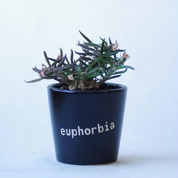ユーフォルビア キリンドリフォリア 筒葉ちびキリン Euphorbia cylindrifolia