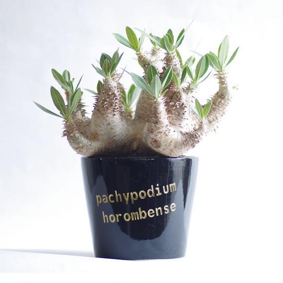 パキポディウム ホロンベンセ Pachypodium horombense
