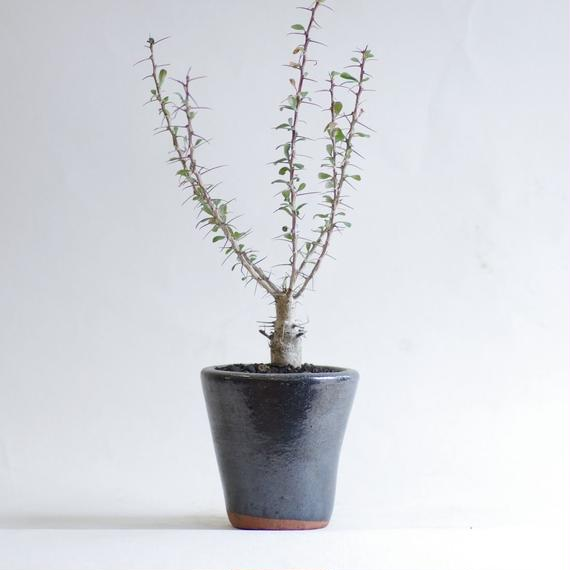 フォークイエリア スプレンデンス Fouquieria Splendens