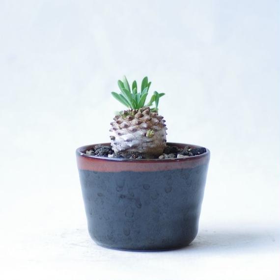 ユーフォルビア ガビザン 峨眉山 Euphorbia ×'Gabisan'
