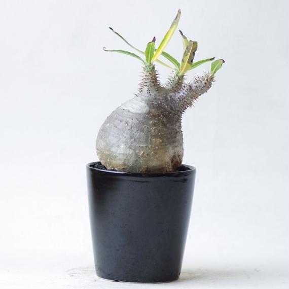 パキポディウム グラキリス Pachpodium rosulatum var.gracilius
