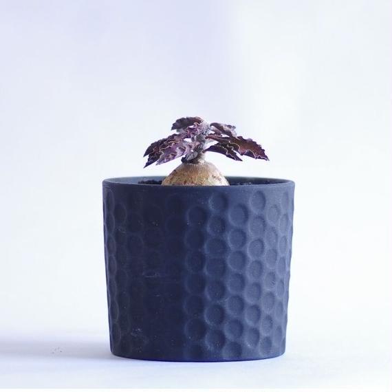 ユーフォルビア アンボボンベンシス Euphorbia a