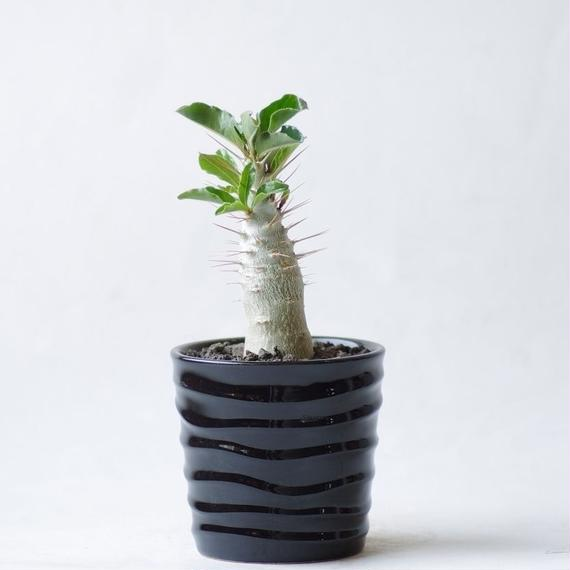 パキポディウム サウンデルシー白馬城 Pachypodium saundersii