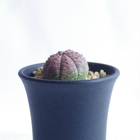 ユーフォルビア シンメトリカ Euphorbia symmetrica