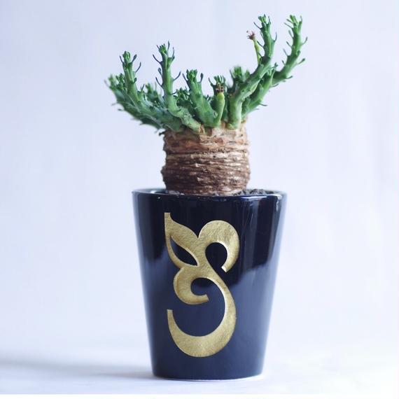 ユーフォルビア ゴルゴニス Euphorbia gorgonis
