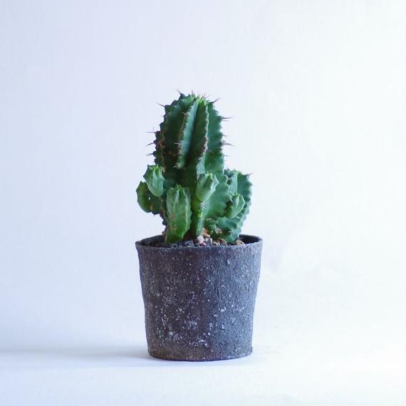 ユーフォルビアフルティコーサ Euphorbia fruticosa