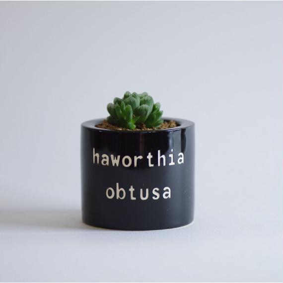 ハオルチア オブツーサ Haworthia obtusa