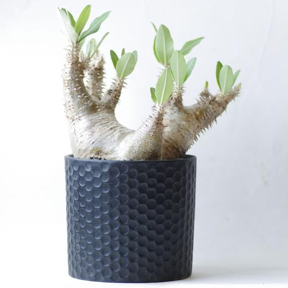 パキポディウム  ホロンベンセPachypodium rosulatum var.horombense