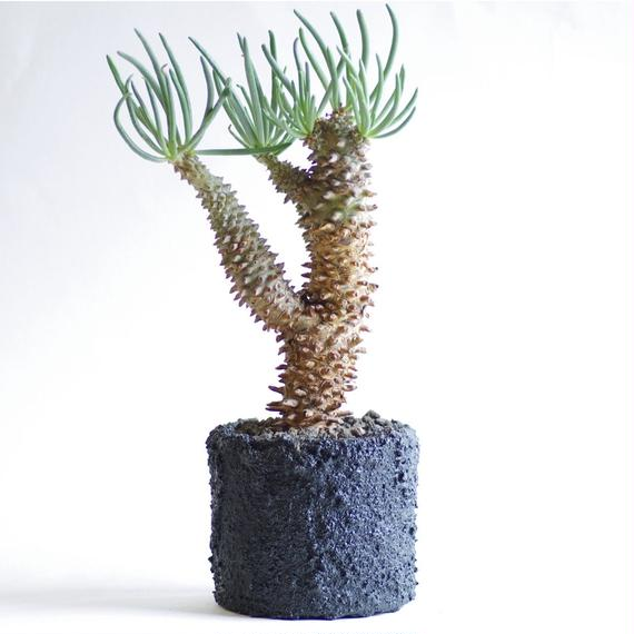 チレコドン ワリチー 奇峰錦 Tylecodon wallichii