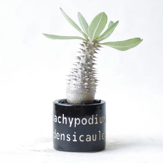 パキポディウム デンシカウレ 恵比寿大黒 Pachypodium densicaule