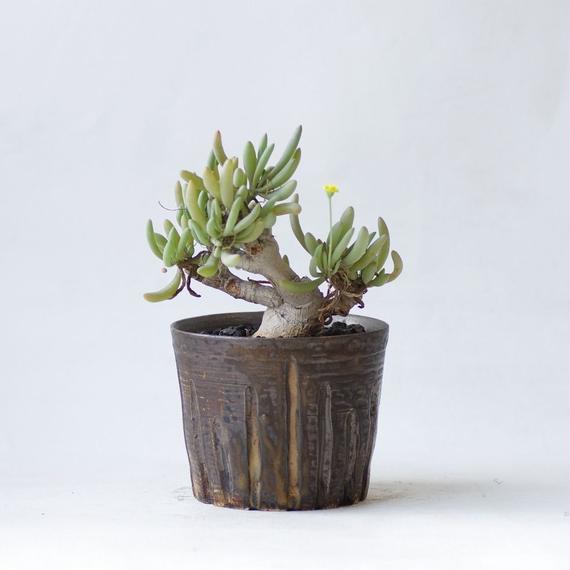 オトンナ クラビフォリア Othonna clavifolia