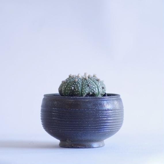 サボテン 兜 Astrophytum asterias