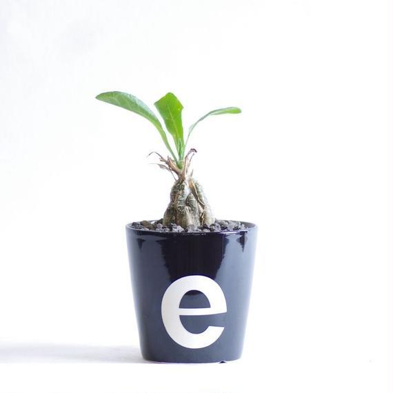 ケファドペンタンドラ エキローサ Cephalopentandra ecirrhosa
