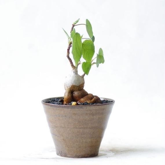 フィッカスアブチリフォリア Ficus abutilifolia