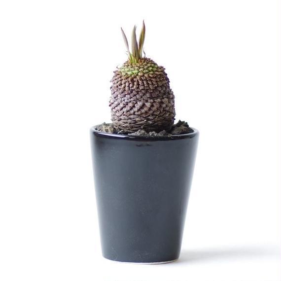 ユーフォルビア ブプレウリフォリア 鉄甲丸 Euphorbia bupleurifolia