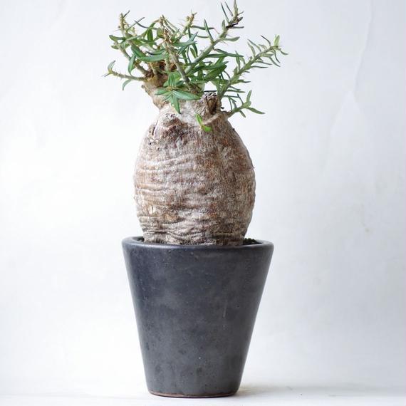 パキポディウム ビスピノーサム Pachypodium bispinosum