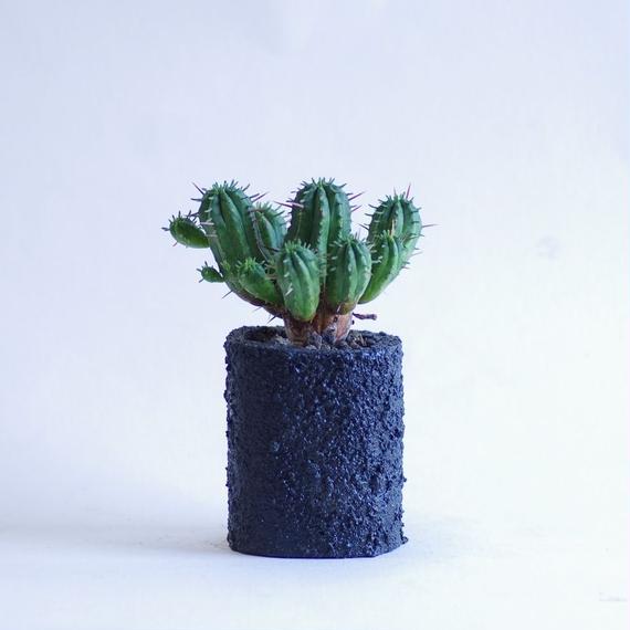 ユーフォルビア 紅キリン Euphorbia aggregata