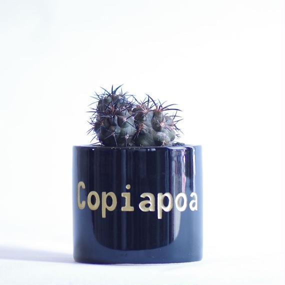 コピアポア デュラ 銅鑼丸 Copiapoa dura