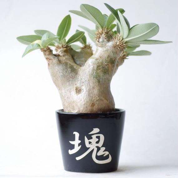 パキポディウム エブレネウム Pachypodium rosulatum var.eburneum