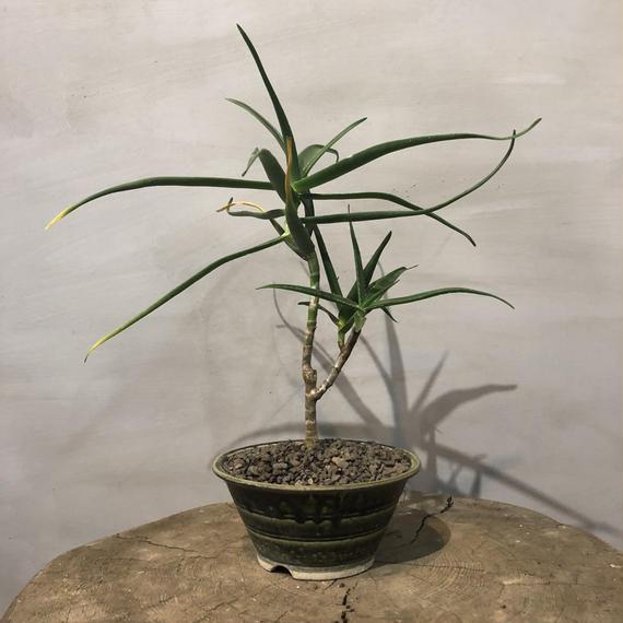 アロエ  ストリアラ 盆栽鉢