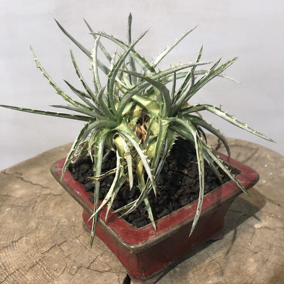 ディッキアSP 盆栽鉢