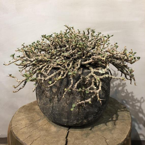 竜骨扇 サルコカロウロ バンデリティアエ