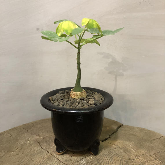 アデニア グラウカ 蘭鉢