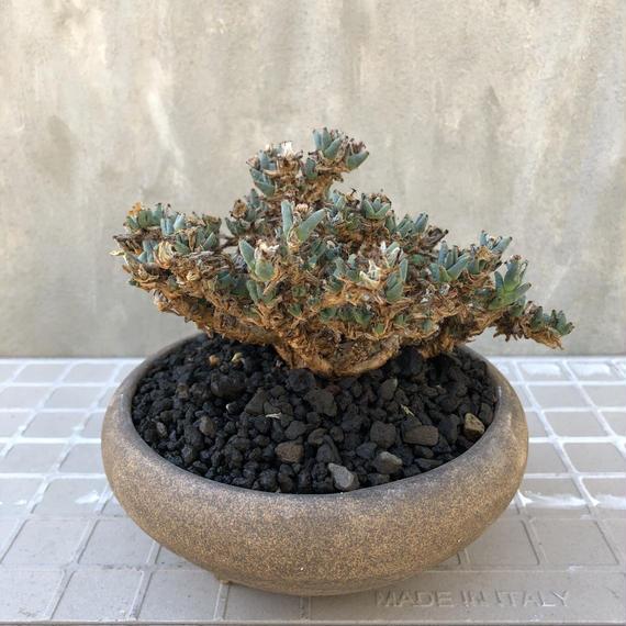 トリコディアデマ SP 盆栽鉢