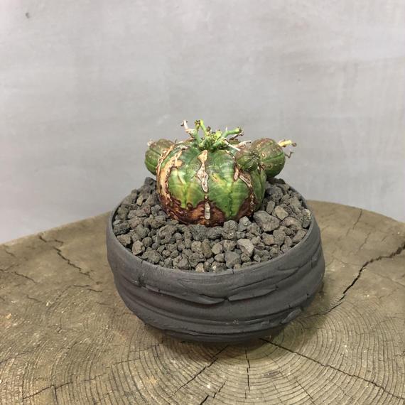ユーフォルビア バリダ A-plants  プロトタイプポット