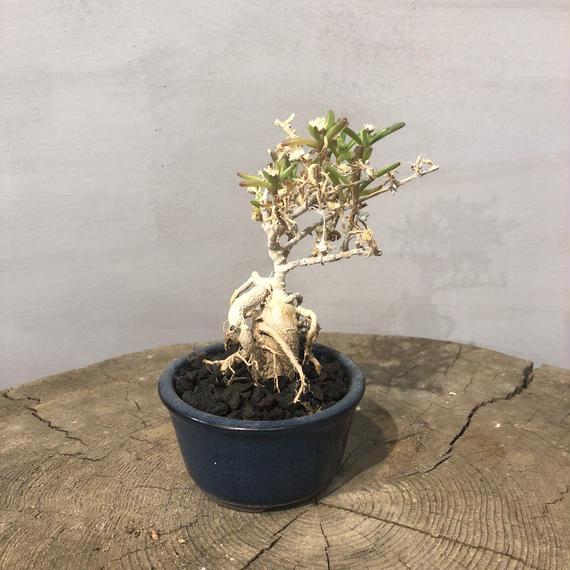 トリコディアデマSP 盆栽鉢