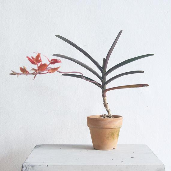 Renanthera angustifolia