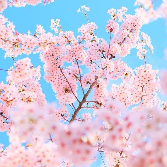 さくら咲く東京撮影の旅