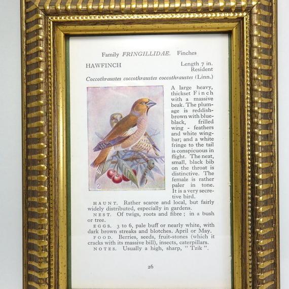 鳥の挿絵 額入り