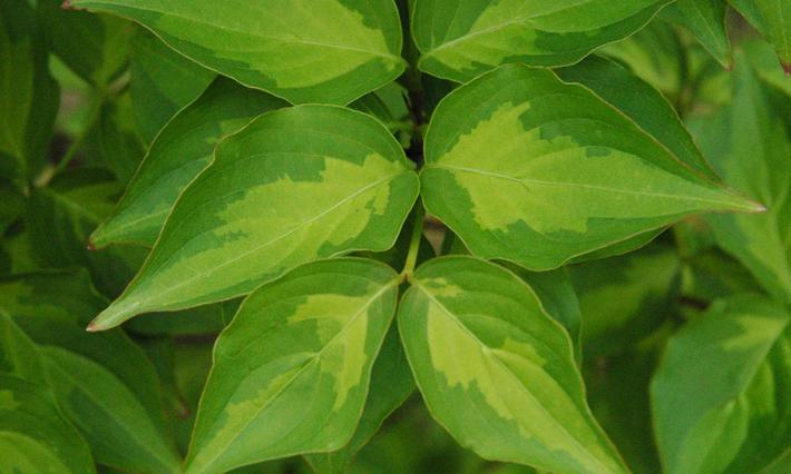 植物 斑入りカラーリーフ